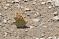 Argynnis pandora, Sivas 2017-07-02 01-1.jpg