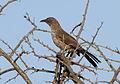 Arrow-marked Babbler,Turdoides jardineii, at Borakalalo National Park, Northwest Province, South Africa (15408600497).jpg