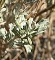 Artemisia nova 9.jpg