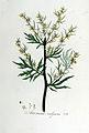Artemisia vulgaris — Flora Batava — Volume v5.jpg