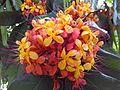 Ashoka Flowers.jpg