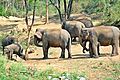 Asian Elephants in Bannerghatta 01.jpg