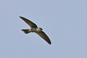 Asian Palm Swift (Cypsiurus balasiensis).jpg