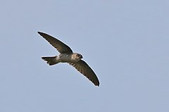240px asian palm swift (cypsiurus balasiensis)