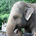 Asian elephant, Australia Zoo (3365636947).jpg