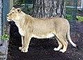 Asiatic.lioness.arp.jpg