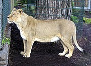 An Asiatic lioness Panthera leo persica, named Moti, was born in Helsinki Zoo (Finland) in October 1994; she arrived at Bristol Zoo (England) in January 1996. The Gir Forest in India is the natural home of the Asiatic lion but she was born in captivity.