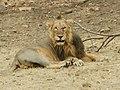 Asiatic Lion (141425765).jpeg