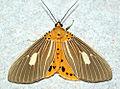 Asota producta - Hang Dong, North Thailand (5922871149).jpg