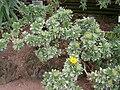 Asteriscus sericeus - Berlin Botanical Garden - IMG 8782.JPG