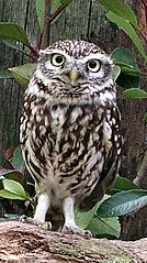 https://upload.wikimedia.org/wikipedia/commons/thumb/d/dd/Athene_noctua.jpg/134px-Athene_noctua.jpg