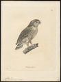Athene pumila - 1700-1880 - Print - Iconographia Zoologica - Special Collections University of Amsterdam - UBA01 IZ18400051.tif