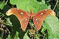 Attacus atlas - Atlas moth - at Peravoor (5).jpg