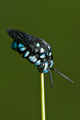 Aussiegall - Another Cloak and Dagger Cuckoo Bee (by).jpg