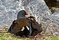 Australasian swamphen - AndrewMercer - DSC01044.jpg