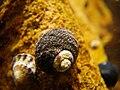 Austrocochlea porcata thin striped.jpg