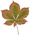 Autumn Horse Chestnut Leaf.jpg