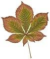 Autumn Horse Chestnut Leaf.jpg