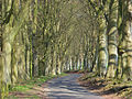 Avenue of beeches, Dunley - geograph.org.uk - 404188.jpg