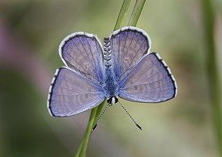 <i>Azanus jesous</i> Species of butterfly