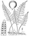 BB-0083 Polypodium vulgare.png