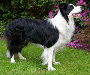 Border Collie Wikipedia