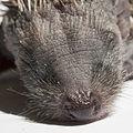 Baby Erinaceus europaeus (16).jpg