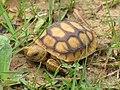 Baby Gopher Tortoise (5960562387).jpg