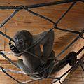 Baby Humboldt's woolly monkey.jpg