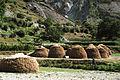 Bagrote Valley Wheat Harvest Chirah.JPG