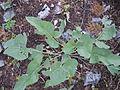 Balsamorhiza sagittata (5384589301).jpg