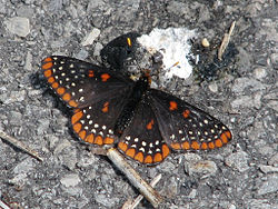 Baltimore Checkerspot.jpg