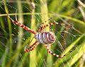 Banded Garden Spider (Argiope trifasciata) - Flickr - gailhampshire.jpg