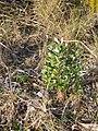 Banksia integrifolia L.f. (AM AK291450-5).jpg