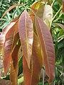 Baramati, Maharashtra, India. 28 Mango leaves.jpg