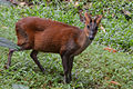 Barking Deer at Trivandrum Zoo DSW.JPG