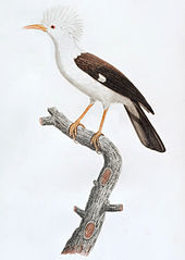 Painting of tufted, brown-and-white bird with a curved beak on a branch