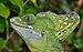 Basiliscus plumifrons qtl1.jpg