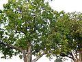 Bassia latifolia(Latin),Mahua Tree.JPG