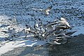 Bassin des Morts gelé, 2012-02-11, mouettes rieuses 03.jpg