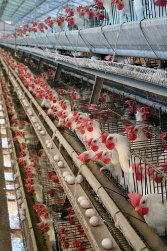 Food industry - Hens in a battery cage in Brazil, an example of intensive animal farming.