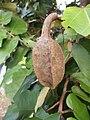 Bayur (Pterospermum diversifolium) pod.jpg