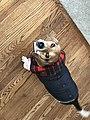 Beagle with winter sweater on wooden floor.jpg