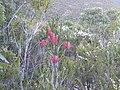 Beaufortia decussata (habit).JPG