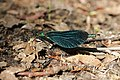 Beautiful Demoiselle - Calopteryx virgo (27516977187).jpg