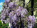 Beautiful wisteria 2 - geograph.org.uk - 1274721.jpg