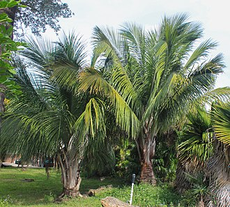 Arecaceae - A pair of young Beccariophoenix alfredii palms