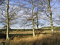 Beech Trees - geograph.org.uk - 287528.jpg