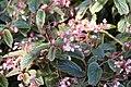Begonia Venezuelan Species 0zz.jpg