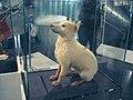 Belka.Space dog.jpg